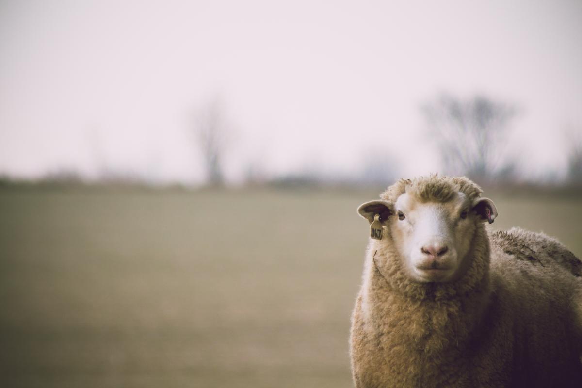 clair novi sad ovca
