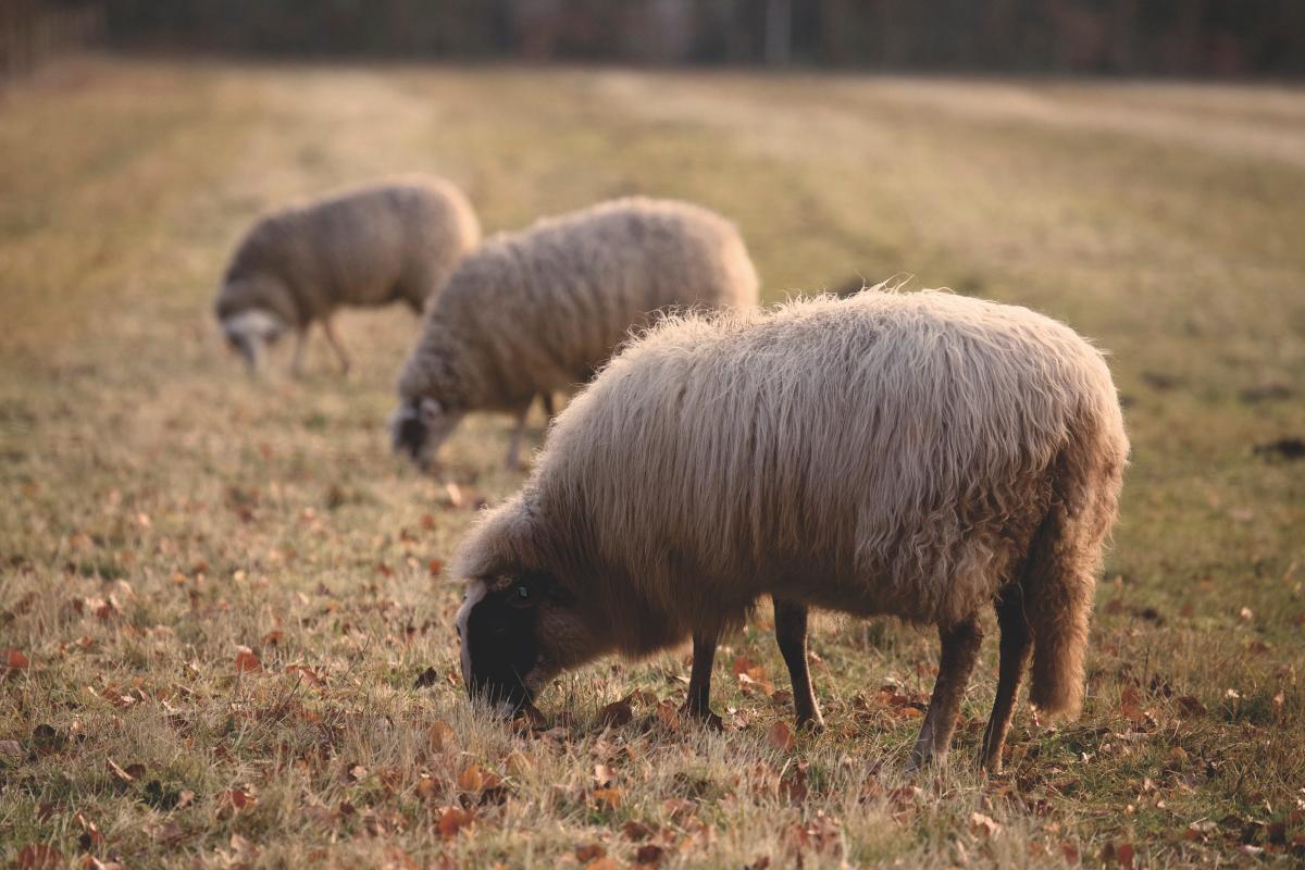 clair novi sad ovce